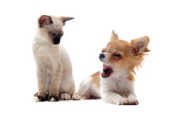 Chihuahua van het puppy en siamese katje stock afbeelding
