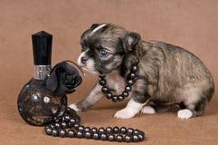 Chihuahua van het puppy met een halsband stock fotografie