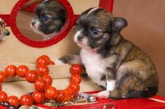 Chihuahua van het puppy met een halsband stock afbeeldingen