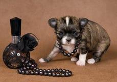 Chihuahua van het puppy met een halsband royalty-vrije stock foto's