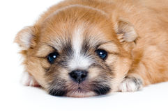 Chihuahua van het puppy in studio Stock Afbeeldingen