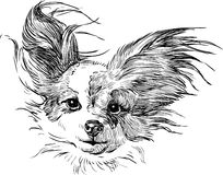 Chihuahua. Vector image of a head of a chihuahua Stock Image