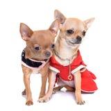 Chihuahua vestida de los perritos Imagen de archivo libre de regalías