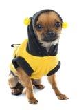 Chihuahua vestida del perrito en estudio Imágenes de archivo libres de regalías