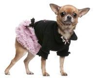 Chihuahua vestida en color de rosa y negro Imagen de archivo libre de regalías