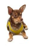 Chihuahua vestida encima como de abeja Fotografía de archivo libre de regalías