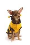 Chihuahua vestida encima como de abeja Fotografía de archivo