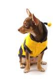 Chihuahua vestida encima como de abeja Fotos de archivo