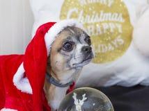 Chihuahua vestido de santa claus. Chihuahua dressed as santa claus Royalty Free Stock Photo