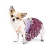 Chihuahua vestita come alte mode di haute Fotografia Stock