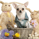 A chihuahua vestiu-se na sarja de Nimes, 10 meses velha Imagens de Stock Royalty Free