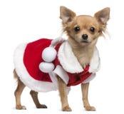 A chihuahua vestiu-se no vestido de Santa, 18 meses velho Foto de Stock