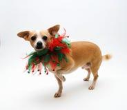 Chihuahua voor Kerstmis Royalty-vrije Stock Afbeeldingen