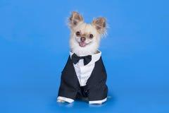 Chihuahua w garniturze Zdjęcie Stock
