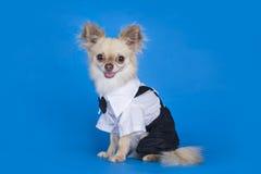 Chihuahua w garniturze Obraz Royalty Free