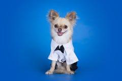 Chihuahua w garniturze Zdjęcie Royalty Free
