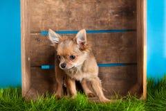 Chihuahua w pudełku odizolowywającym na błękitnym tło psa zwierze domowy zwierzęciu domowym fotografia royalty free