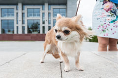 Chihuahua walking in the city. Walking with chihuahua puppy on the city background Stock Photography