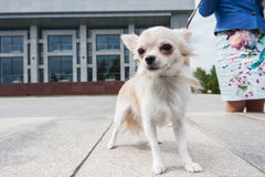 Chihuahua walking in the city. Walking with chihuahua puppy on the city background Stock Photos