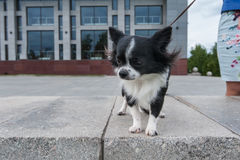 Chihuahua walking in the city. Walking with chihuahua puppy on the city background Royalty Free Stock Photo