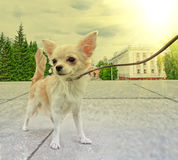 Chihuahua walking Royalty Free Stock Photography