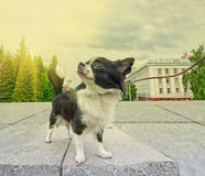 Chihuahua walking Royalty Free Stock Photo