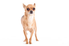 Chihuahua walking. Happy dog photographed in the studio on a white background royalty free stock photo