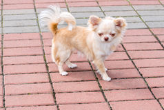 Chihuahua walks. Royalty Free Stock Images