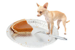 Chihuahua wants pumpkin pie royalty free stock images