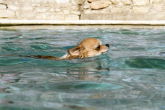 Chihuahua in the water Royalty Free Stock Photography