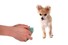 Chihuahua and water drink Stock Image