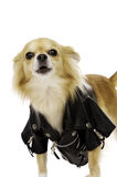 Chihuahua Wearing a Black Leather Jacket Royalty Free Stock Photography