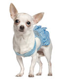 Chihuahua, wearing blue striped Royalty Free Stock Image