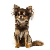 Chihuahua wearing a bow tie collar Stock Images