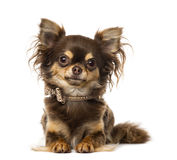 Chihuahua wearing a bow tie collar Royalty Free Stock Photos