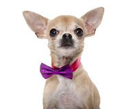 Chihuahua wearing a bow tie Stock Image
