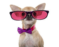 Chihuahua wearing a bow tie and glasses Stock Photo