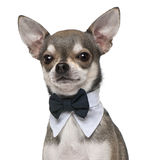 Chihuahua wearing bowtie, 3 years old. In front of white background Stock Photo