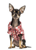 Chihuahua wearing a check shirt, 18 months old Stock Photos
