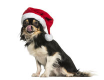 Chihuahua wearing a christmas hat, licking, sitting, isolated Royalty Free Stock Photos