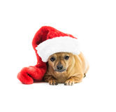 Chihuahua Wearing Christmas Stocking - Center. High key shot of a tan Chihuahua wearing a red and white Christmas stocking and looking at the camera Royalty Free Stock Photography