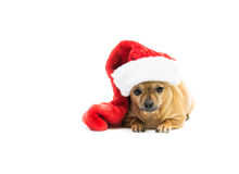 Chihuahua Wearing Christmas Stocking - Right Side. High key shot of a tan Chihuahua wearing a red and white Christmas stocking and looking at the camera Stock Images