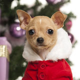 Chihuahua wearing a Christmas suit in front of Christmas decorations Stock Image