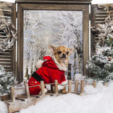Chihuahua wearing a christmas suit, sitting on a bridge Royalty Free Stock Images