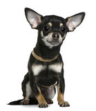 Chihuahua wearing collar, 1 year old, sitting Royalty Free Stock Photography
