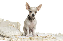 Chihuahua wearing a collar sitting, isolated Stock Image