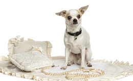 Chihuahua wearing a collar sitting, isolated Stock Photography