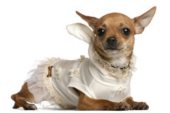 Chihuahua wearing dress, 1 year old, lying Royalty Free Stock Photos