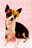 Chihuahua wearing flowers and on pink background Stock Photos