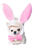 Chihuahua wearing funny costume Stock Photography